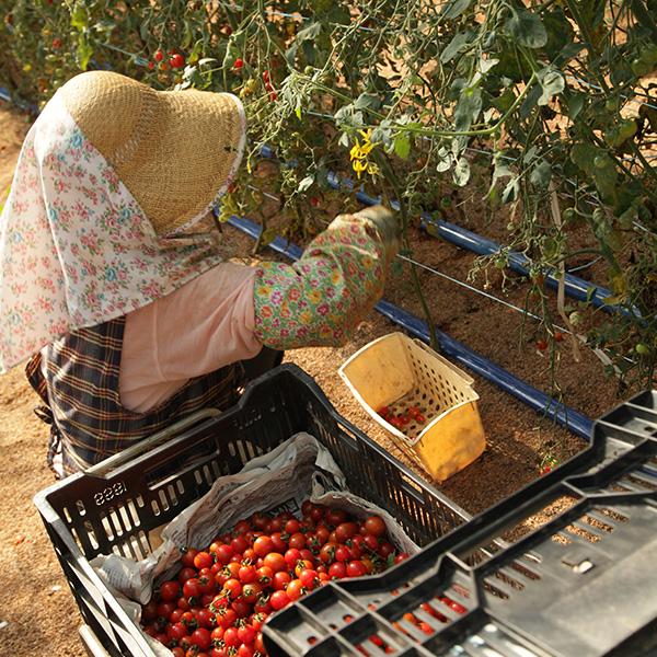 ミニトマトの収穫作業